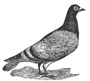 pigeon_7522_lg